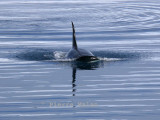 Killer Whale - Lemaire Channel Antarctic Peninsula copy.jpg