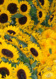 Sunflowers 08