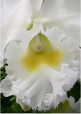 17 White Orchid 2