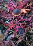 Mushroom in Maple Leaves