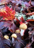 Mushrooms in Maple Leaves
