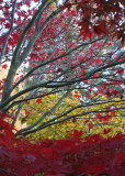 31 Maple Branches, Red and Yellow