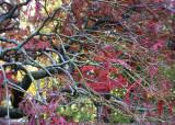 50 Last Fall Maple Leaves