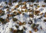 Leaves on Snow