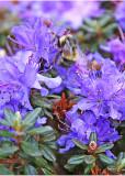 16 Bumblebee on R.impeditum