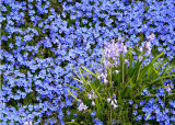 21 Blue Groundcover and Bluebells