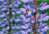 23 Bumblebee on Lupine