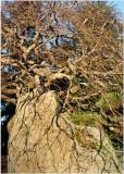 59 Winter Maple on Rock