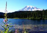 16 fireweed at reflection lake