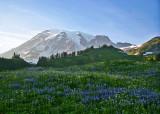 29 lupine meadow
