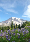 49 lupines on the mountain