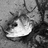 Fish head 1.jpg