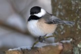 Chickadees, Titmice and Nuthatches