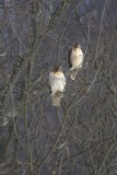 Matched Pair of Red-tailed Hawks