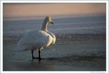 Swan at twilight