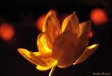 Zen 15 - Lotus