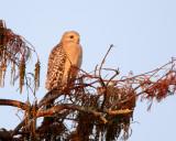 Red Shoulder Hawk in a tree closeup.jpg