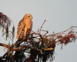 Red Shoulder Hawk in a tree closeup 2_filtered.jpg