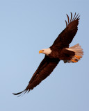 Bald Eagle from dead tree flying.jpg
