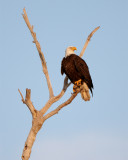 Bald Eagle on Dead Tree Looking Right.jpg