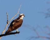 Osprey on a tree branch.jpg