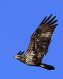 Juvenile Bald Eagle Flying.jpg