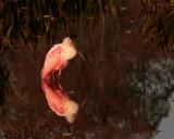Roseate Spoonbill Reflection.jpg