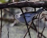 Gray Gnatcatcher on a twig.jpg