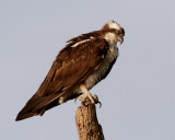 Osprey on a dead tree.jpg