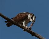 Osprey eating on branch 2.jpg