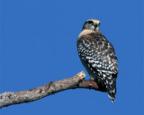 Red Shoulder Hawk at the end of the branch looking back 2.jpg