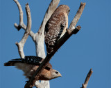 Red Shoulder Hawk Pair in dead tree one getting ready to fly.jpg