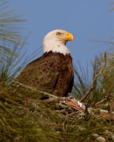 Bald Eagle in the Nest.jpg