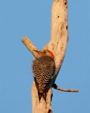 Red Bellied Woodpecker at Dawn.jpg