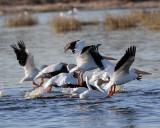 Pelicans landing in the water.jpg