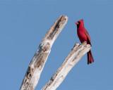 Circle B Cardinal on Branch.jpg