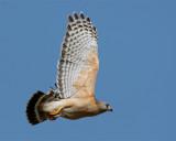 Red Shoulder Hawk in Flight.jpg