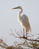 Circle B Egret at Dawn.jpg
