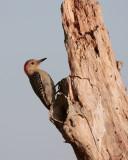 Circle B Red Bellied Woodpecker at Dawn 2.jpg