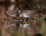 Two Dowitchers Reflection.jpg