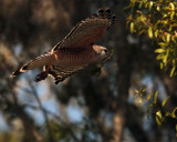 Red Shoulder Hawk Flying with Nesting Material 2.jpg