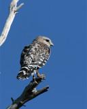 Red Shoulder Hawk on a Dead Tree at Marsh Rabbit Run.jpg