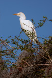 Circle B Cattle Egret in a Tree 2.jpg