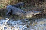 Circle B Gator on Marsh Rabbit Run.jpg