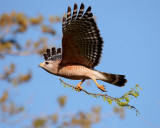 Circle B Red Shoulder Hawk in Flight with Nesting Material 3.jpg