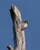 Circle B Downy Woodpecker.jpg