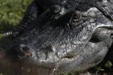 Circle B Pregnant Gator Head.jpg