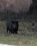 Hogs on Shady Oak.jpg