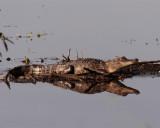 Gator Reflection.jpg
