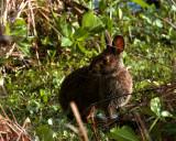 Marsh Rabbit on Alligator Alley.jpg